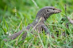 Land Monitor lizard, Polonnawura, Sri Lanka