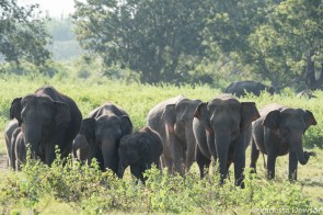 Wild elephants in Minneriya, Sri Lanka