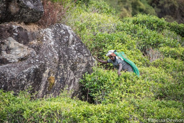 Picking tea leaves on a hillside in Sri Lanka.