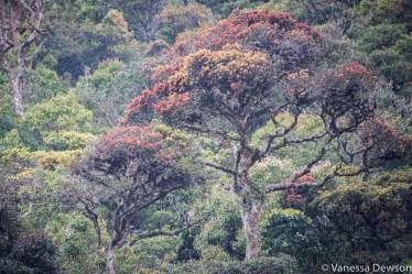 Endemic tree, Horton Plains, Sri Lanka