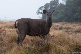 Femal sambur deer