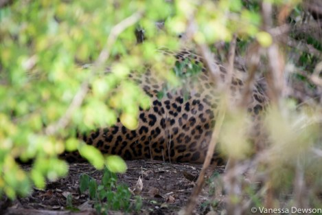 Leopard spots in Yala National Park.