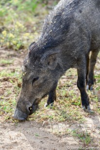 Wild Boar, Yala National Park