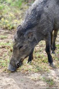 Wild Boar, Yala National Park