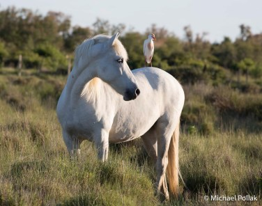 An egret found a good perch on the back of a Camargue horse. Photo by: Michael Pollak