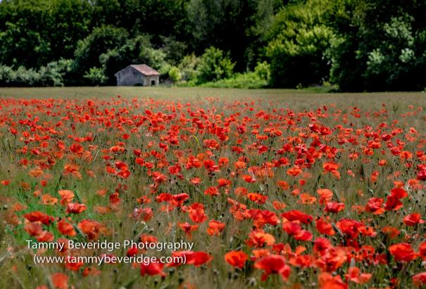 Poppies. Photo by: Tammy Beveridge