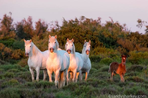 Finding the herd just as the sun rose. Photo by: Sandy Sharkey