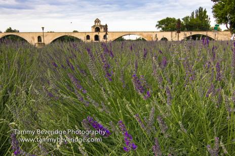 Lavender in front of the Pont d'AvignonPhoto by: Tammy Beveridge