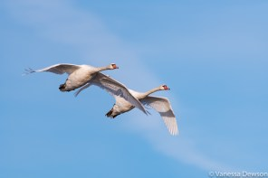 Swans in flight. Photo by: Vanessa Dewson