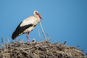 Stork and chick. Photo by: Vanessa Dewson