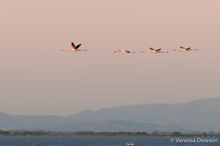 Flamingos in flight over the Camargue. Photo by: Vanessa Dewson