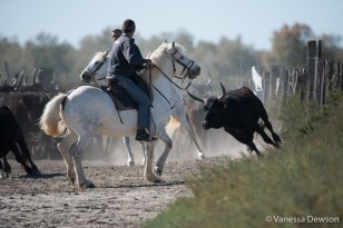 Choosing the right bull. Photo by: Vanessa Dewson