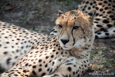 Emdoneni Cheetah Project