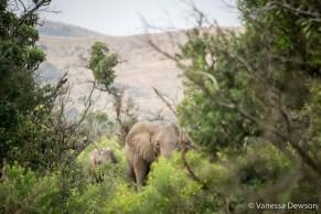Elephants in Hluhluwe-iMfolozi