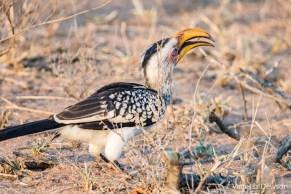Yellow-Billed Hornbill eating