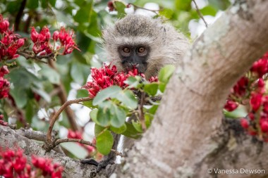 Vervet Monkey in Boer Berry Tree