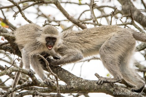Vervet Monkeys fighting