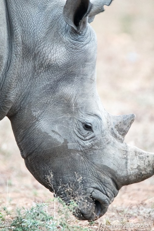 White Rhino Close-Up
