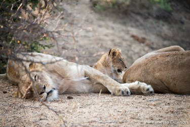 Lion cub and family