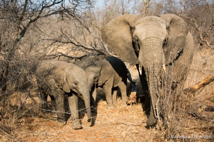 Elephant with two babies
