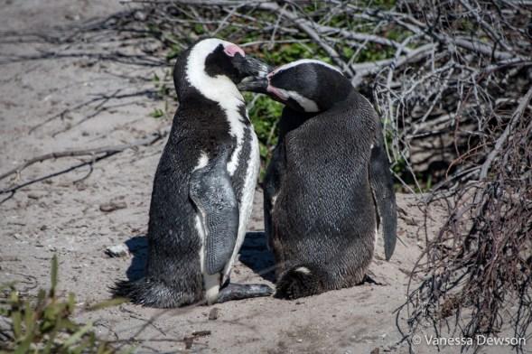 Penguin's kissing