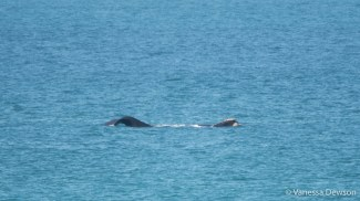 Southern Right Whale - Head and Tail