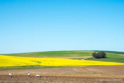 Blue Crane in front of canola field