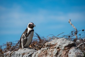 Penguin at Stony Point