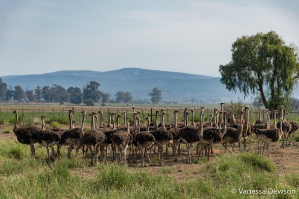 Female Ostriches on a Farm, Oudsthoorn