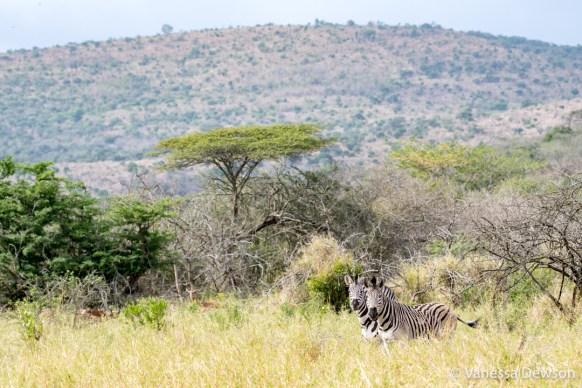Zebras in Thula Thula