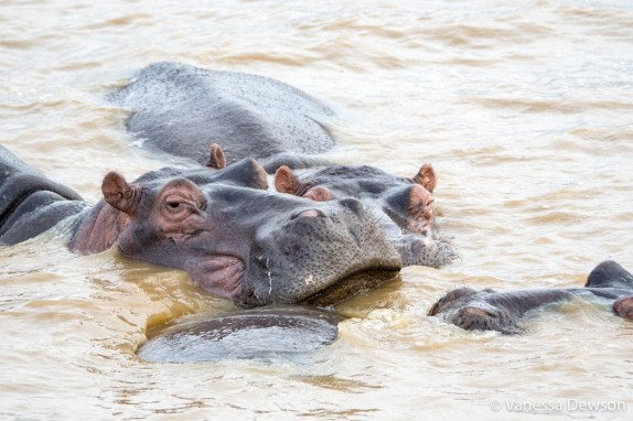 Group of hippos in St Lucia