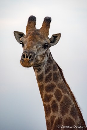 Giraffe in Thula Thula