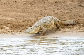 Croc entering the St Lucia Estuary
