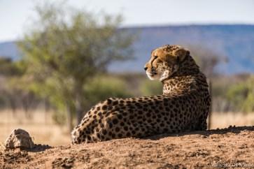 Morning sun on cheetah at CCF