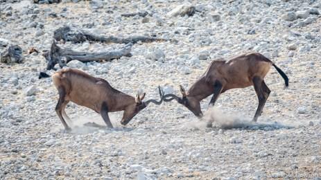 Hartebeest fight