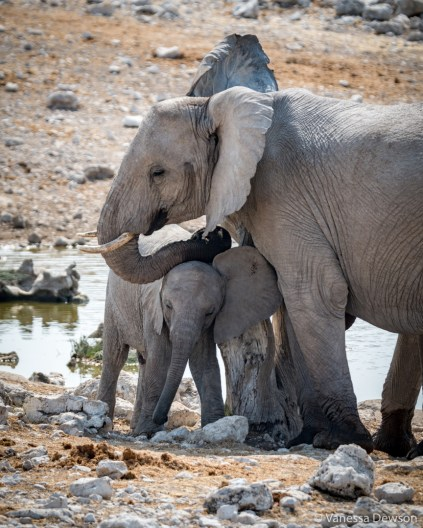 Elephants rubbing against a stump.
