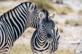 Mom and baby zebra