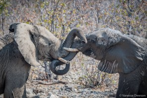Elephants play fighting.