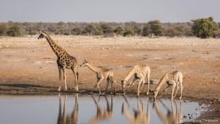 Giraffes at the waterhole.