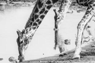 B&W Giraffes Drinking