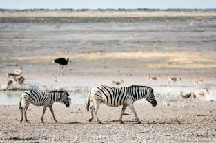 Zebras, springbok and an ostrich in the background