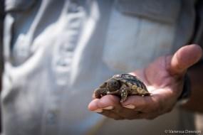 7-month old Leopard Tortoise