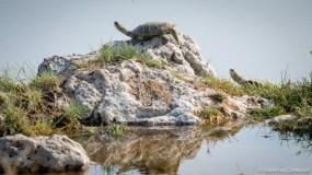 Terrapin Turtles