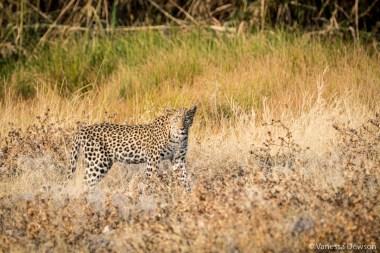 Leopard in Etosha.