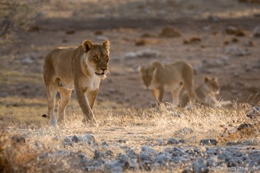 Lions in Etosha