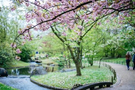 japanse tuin kerselaar