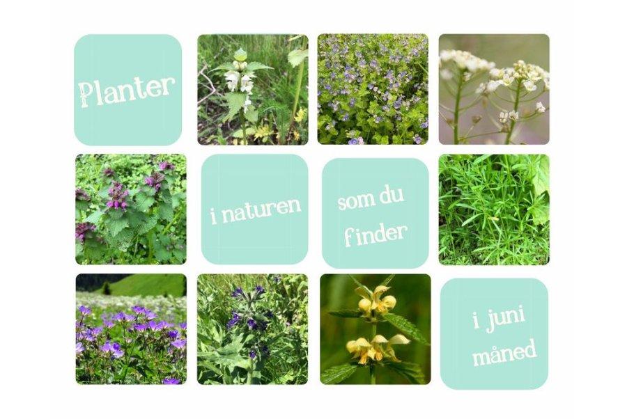 Spiselige planter i naturen du finder i Juni - Foderhulen.dk