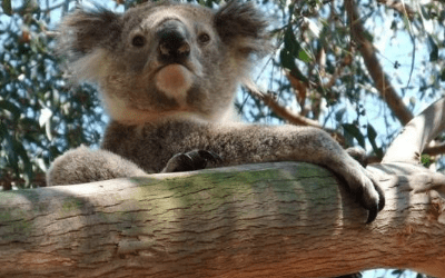 New Report shows that the Strzelecki Koala Faces an Uncertain Future