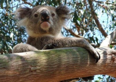 New Report shows that the Strzelecki Koala Faces an Uncertain Future