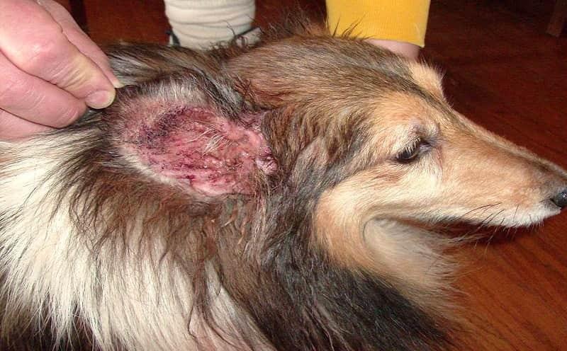 dog ear mites home remedy